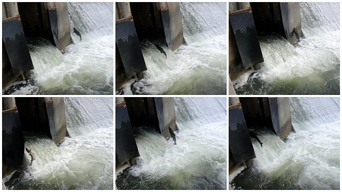 series of photos showing salmon jumping ladder