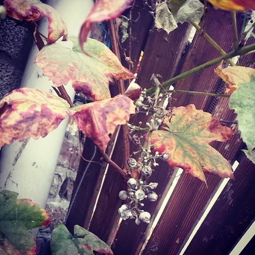 Druiven, ook al niets #moestuinfail