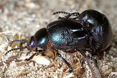 Lesser Bloody-nosed Beetle