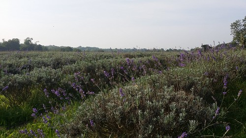Mayfield Lavender Fields #LondonLOOP #sh