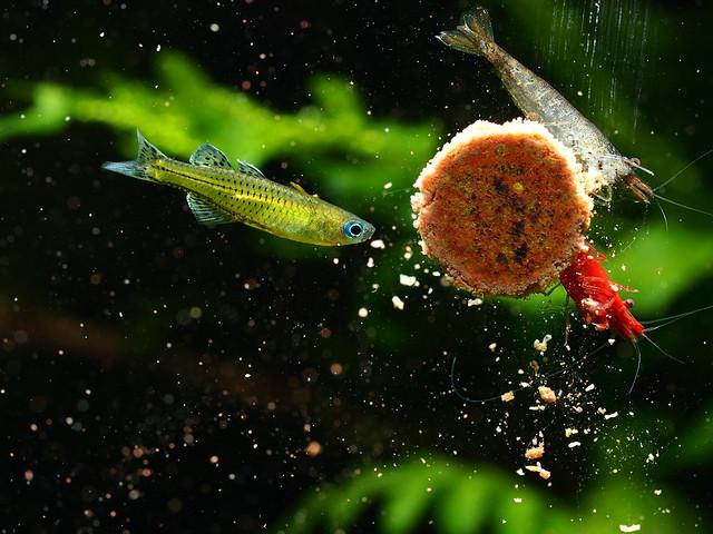 P6263289 珍珠燕子 黑殼蝦 極火蝦