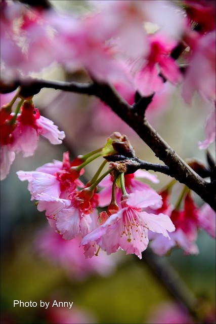 麗池櫻花29