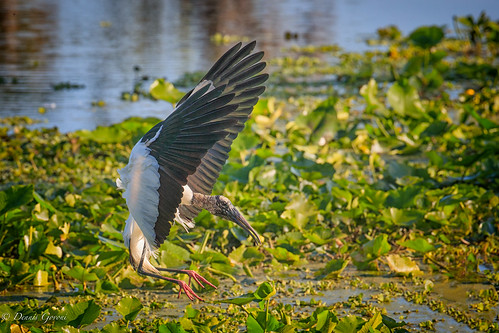 action background bird flight florida orlandowetlands sunrise water wildlife woodstork christmas unitedstates us