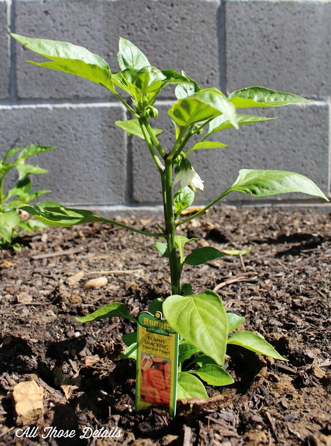 Petite Bell Pepper Plant