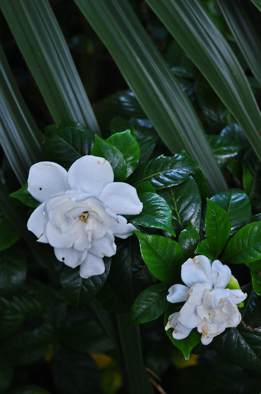 Gardenia jasminoides 'August Beauty' with Sabal minor