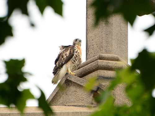 Cathedral Hawk Fledgling (1458)