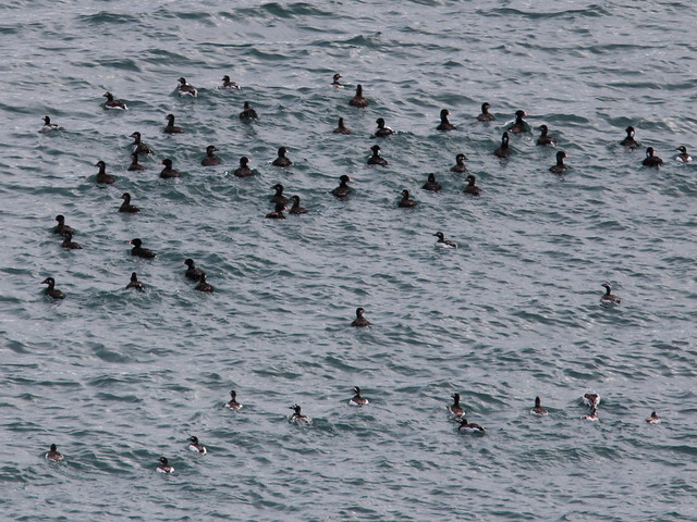 Surf Scoters and Long-tailed Ducks 20140619