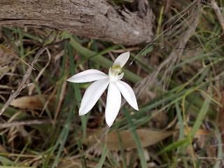 Caladenia catenata