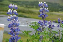 flower, lavender, lilac, lavender, herb, wildflower, flora, bluebonnet,