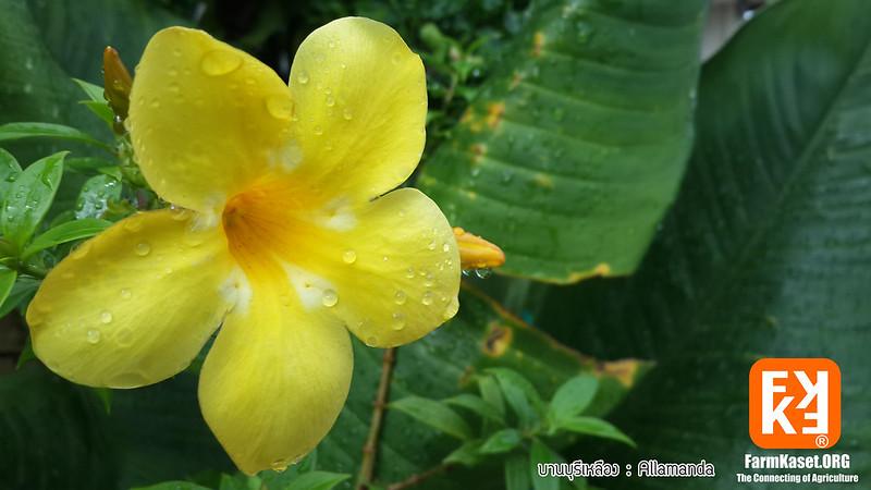 Bann-buri-yellow