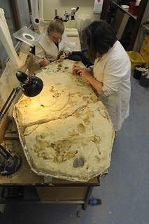 實驗室內清修海豚化石。右邊為Dianne(實驗室裡的幫手),左邊為Nichole(系上的一名碩士生,雖不是直接進行化石研究,但對於化石有極大的興趣)。作者攝於紐西蘭奧塔哥大學(University of Otago)。