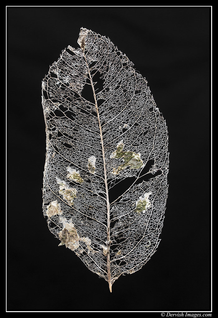 Leaf Skeleton # 2