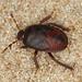 Bug - Cydnus aterrimus nymph by timz501