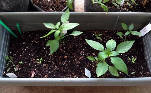 Shishito pepper plants