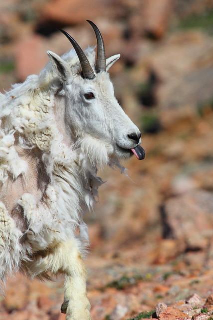 IMG_4597 Mountain Goat