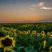 Sunflowers by Tudor Migia