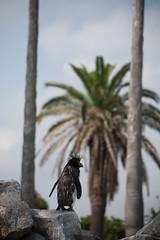 Rockhopper Penguin & Palm tree