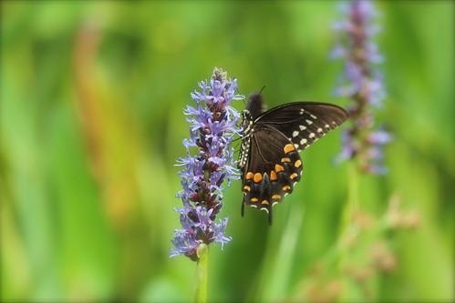 canon butterfly nc durham purple violet northcarolina rest plantlife pickerelweed americantobaccotrail 600d 55250mm rebelt3i