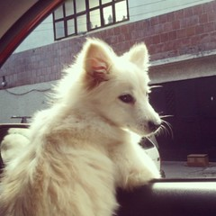 "And this is Frankie's face when saying ""Speed up grandma! I wanna eat the whole world!""  #eskie #esquimalamericano #americaneskimo #dogs #puppy #ilovedogs #boyswithattitude #handsomest"