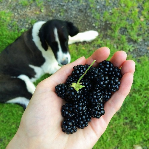 Went to down to the pasture to pet horses, discovered a bush with the best blackberries I've ever eaten. Everybody wins.   #farmgirl #jjupandaway #summer #eatlocal #vscocam #vsco #vscofood #foodporn #pickyourown #newyork
