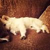If only I had a life as wealthy, loved and comfy as this dog! He's the king of this jungle!  #spoileddog #richdogsofinstagram #rich #eskie #esquimalamericano #americaneskimo #sleepingtime #sleeping #dogs #pets #handsomest
