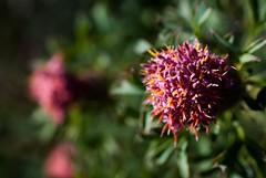Isopogon crithmifolius