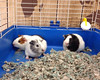 These three baby boy guinea pigs were born on July 7th. They are available for adoption. Meet them today. Acadiana Humane Society fundraiser and pet adoptions today at Petco on Settler's Trace Blvd. in Lafayette. Handcrafted jewelry and rescue t-shirts av