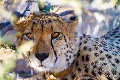 Namibian Cheetah