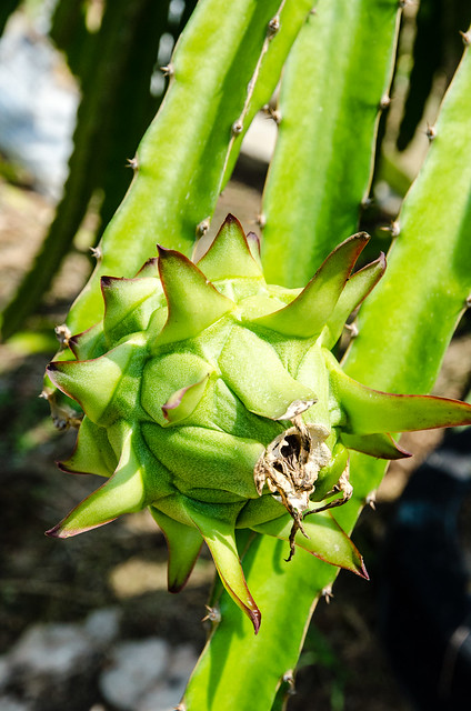 Dragon fruit in the making