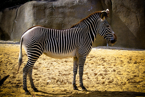 Zebra at Paris Zoo