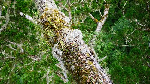 飛鼠大便提供小攀龍附生蘭在樹冠層難以取得的養分。圖片攝影:徐嘉君