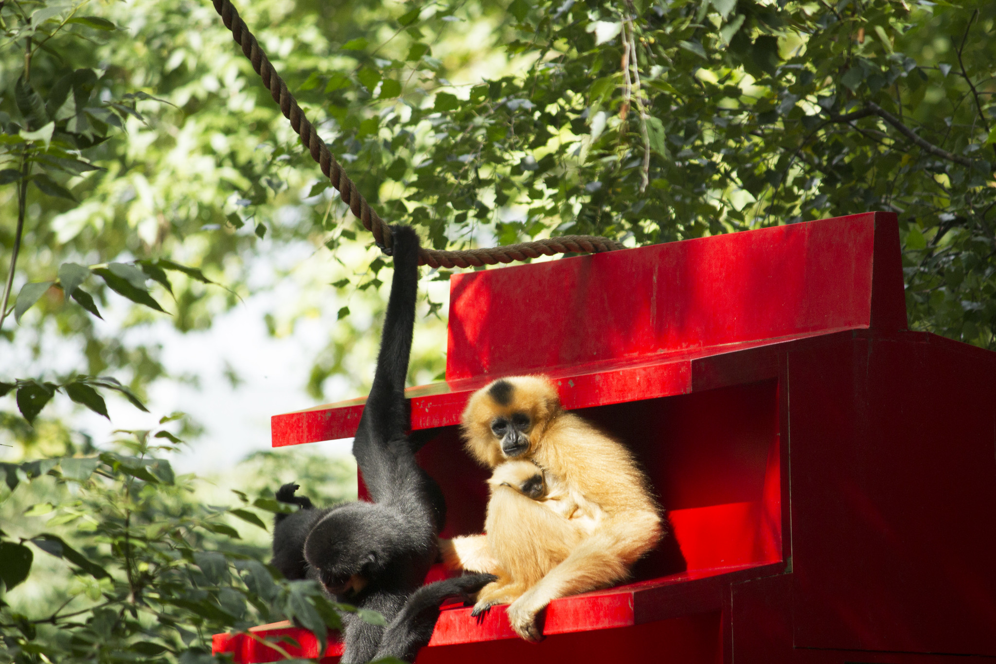 Yellow-cheeked gibbons with newborn - Artis Royal Zoo