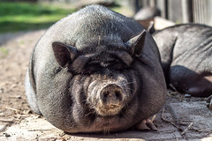 animal, zoo, domestic pig, pig, snout, fauna, pig-like mammal, wildlife,