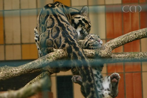 The cute cute Clouded Leopard (Nebelparder) kid!!!