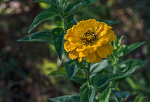 Yellow Zinnia by Geoff Livingston