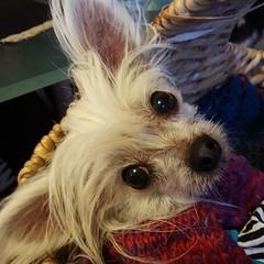 #princepupitou #cutedog #toocute #SoCute #chinesecrested #chihuahua #toydog #dogs