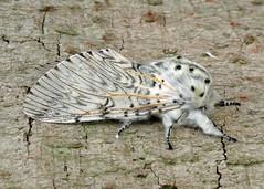 1995 Puss Moth - Cerura vinula