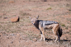 dog(0.0), czechoslovakian wolfdog(0.0), pet(0.0), lycaon pictus(0.0), saarloos wolfdog(0.0), animal(1.0), red wolf(1.0), mammal(1.0), jackal(1.0), fauna(1.0), dhole(1.0), coyote(1.0), wildlife(1.0),