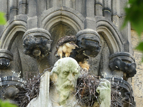 Cathedral Hawl Nestlings (1680)