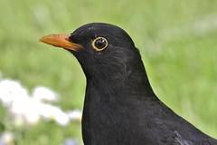 robin(0.0), crow(0.0), rook(0.0), animal(1.0), fauna(1.0), common myna(1.0), close-up(1.0), beak(1.0), blackbird(1.0), bird(1.0), wildlife(1.0),