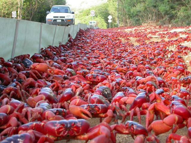 1_red-crabs2.jpg