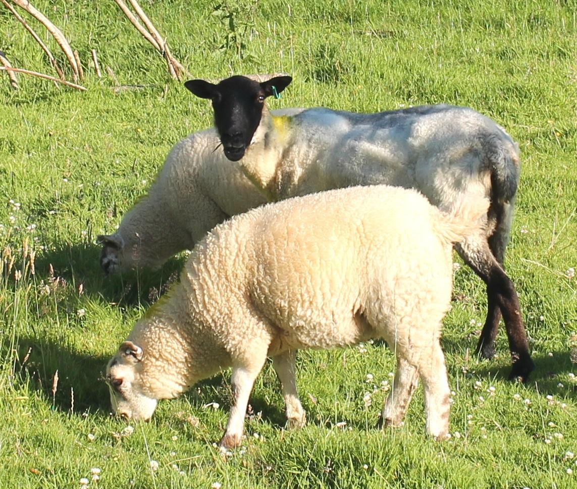 new sheep