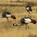 Gray crowned cranes