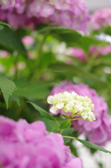 自宅の紫陽花