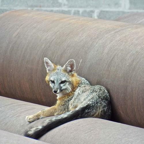 Female fox on guard