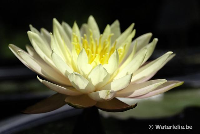 Waterlelie Rasmitara / Nymphaea Rasmitara