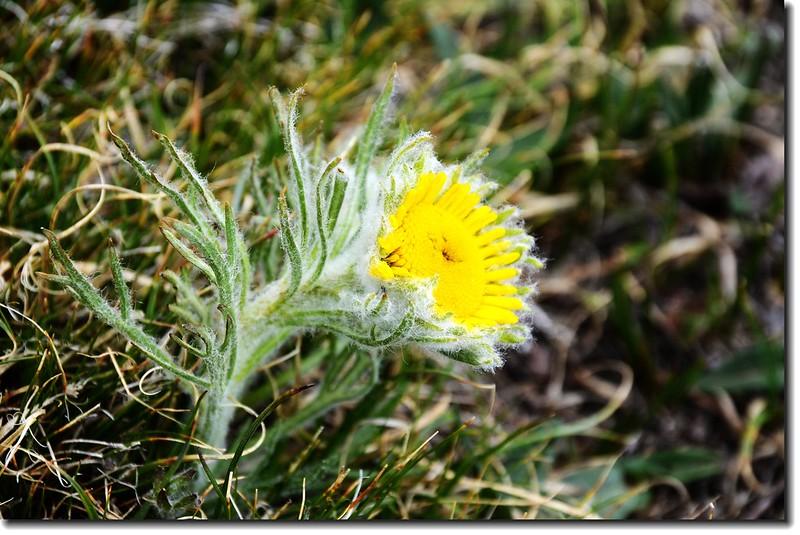 Alpine sunflower 2