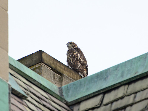 Cathedral Juvenile Hawk - 3767