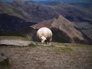 Sheep at the top of Snowdon