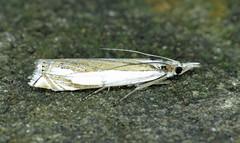 63.083 Marsh Grass-veneer - Crambus uliginosellus
